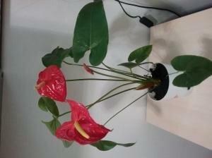 Продам цветок Антуриум